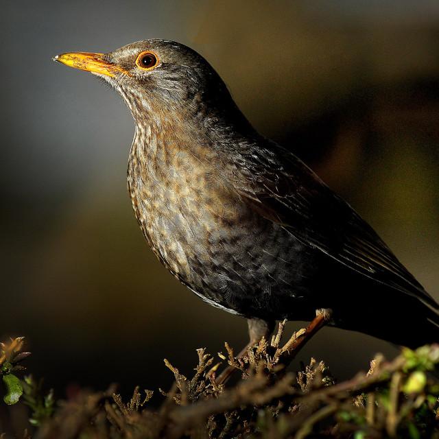 """""""A Female Blackbird enjoying a garden feast"""" stock image"""