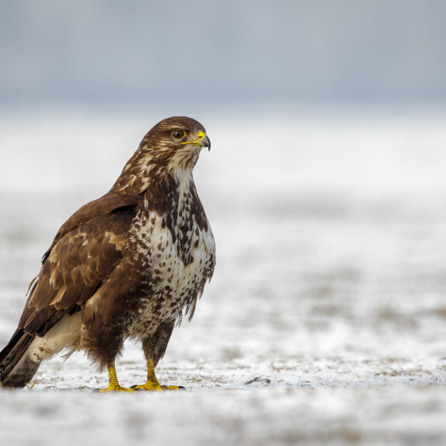 """Buzzard standing on snow covered ground"" stock image"