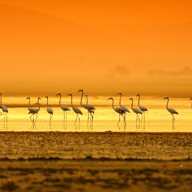 """flamingos at sunset"" stock image"