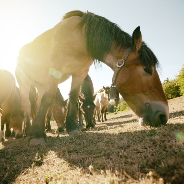 """Mares grazing"" stock image"