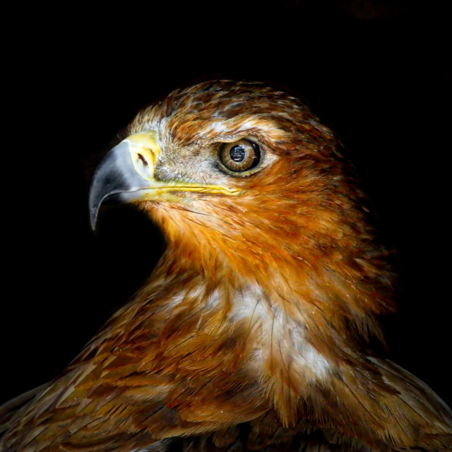 """Hawk portrait"" stock image"