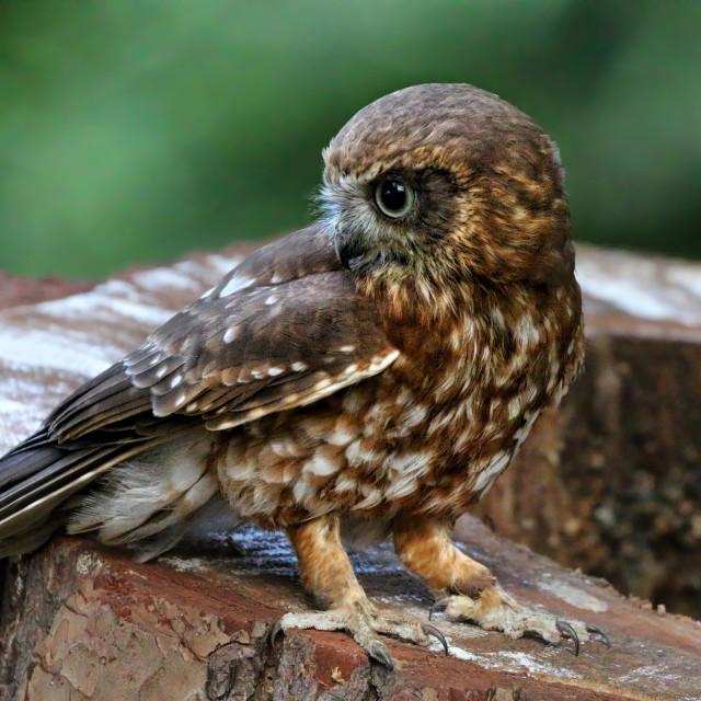 """Boobook Owl"" stock image"