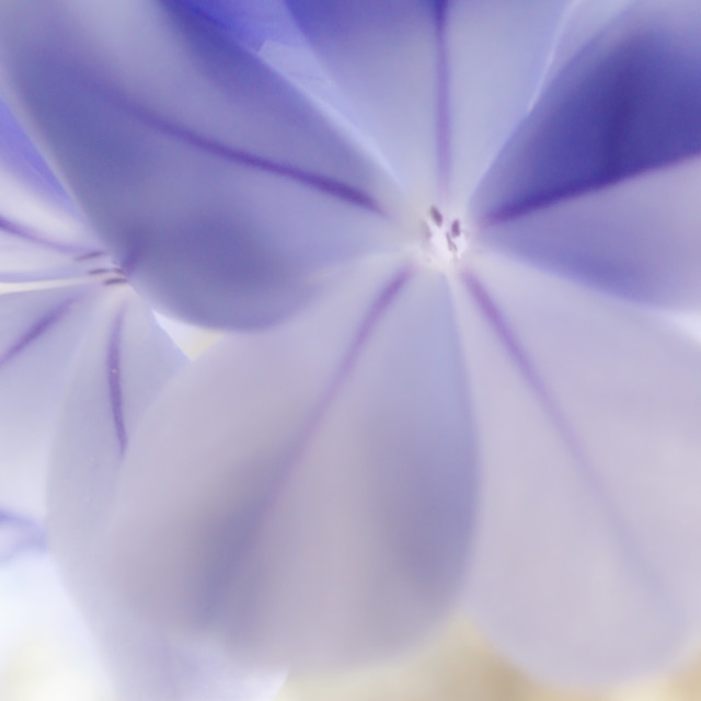 """Purple Flower Macro"" stock image"