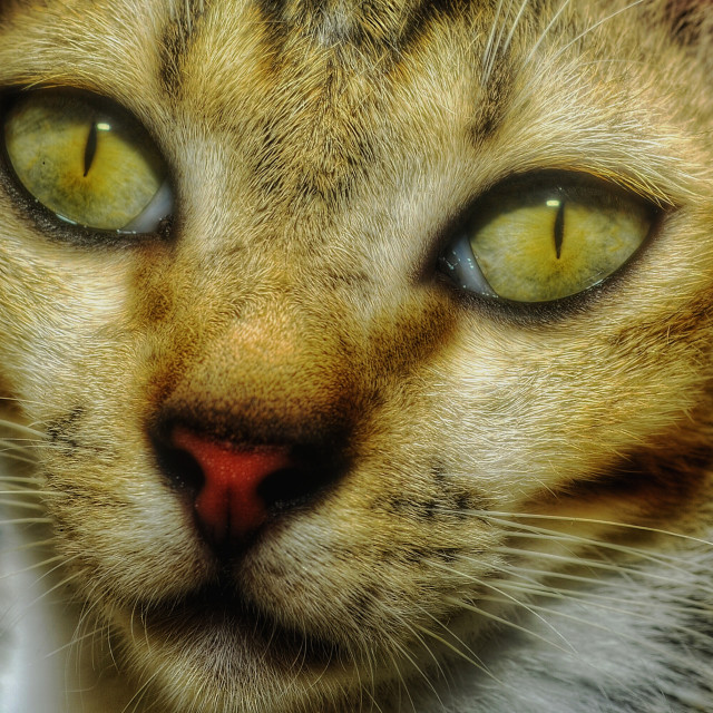 """Cat Face Golden Eyes PORTRAITURE Headshot"" stock image"