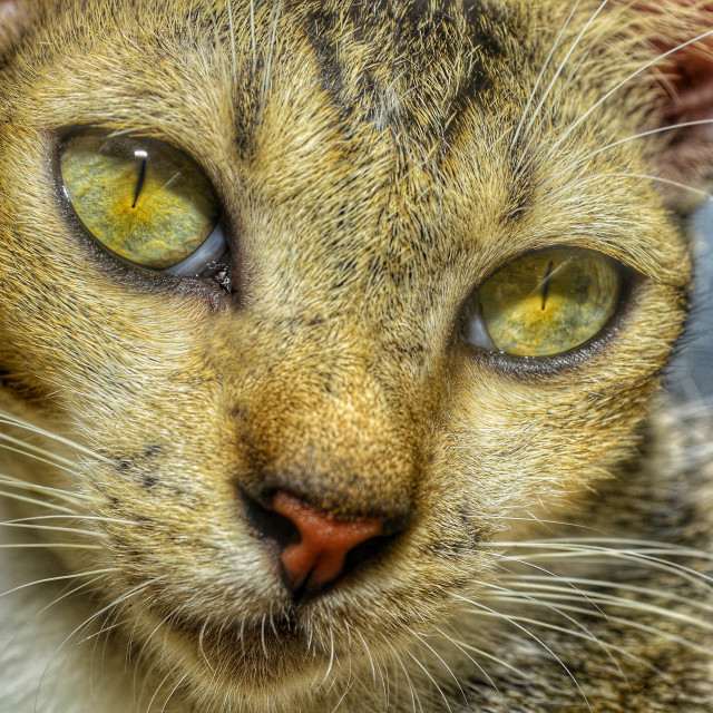 """#GoldenGreenCatEyes #FelinePortraiture Headshot"" stock image"