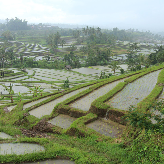 """View of paddy terrace at Jati Luwih Bali"" stock image"