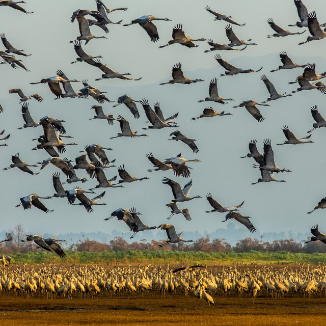 """Flock of Common Cranes taking to the air"" stock image"