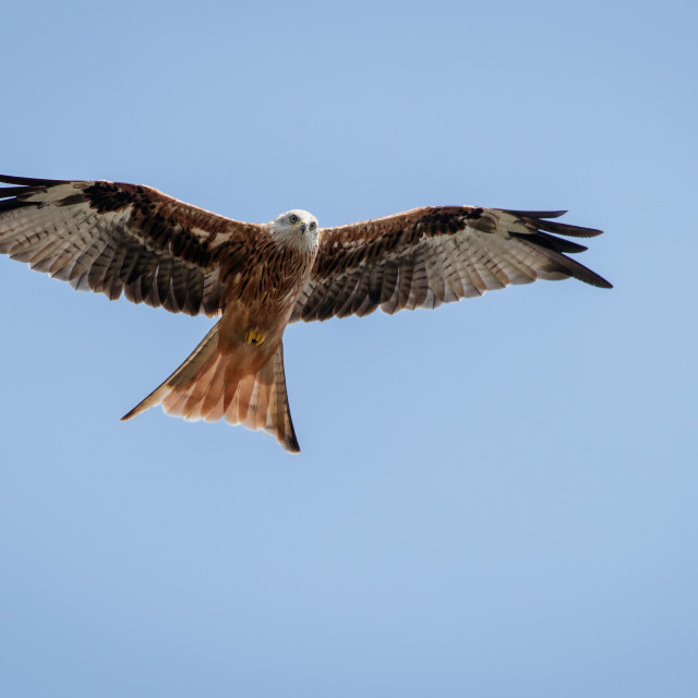 """Red Kite overhead, in flight"" stock image"
