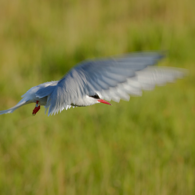 """Hovering Arctic Tern with blurred wing motion"" stock image"