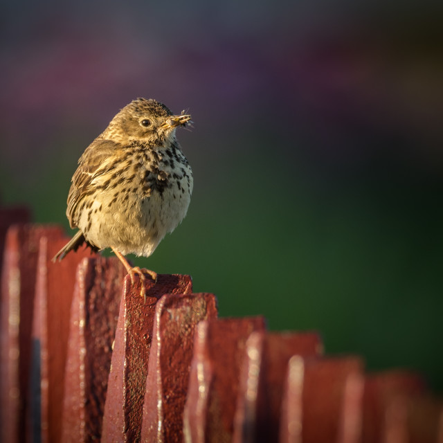 """Meadow Pipit perched on a fence"" stock image"