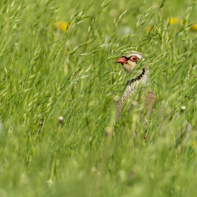 """Red-legged Partridge hiding in the long grass"" stock image"