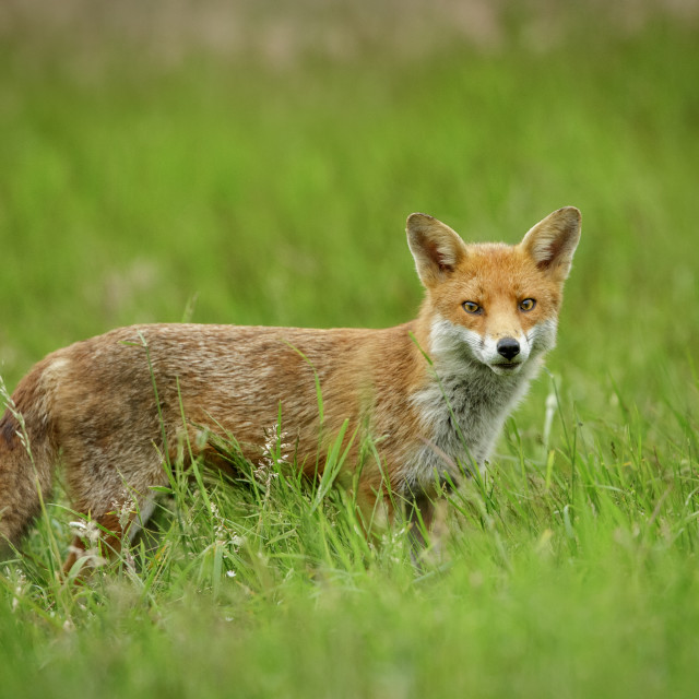 """Red Fox standing and watching intently"" stock image"