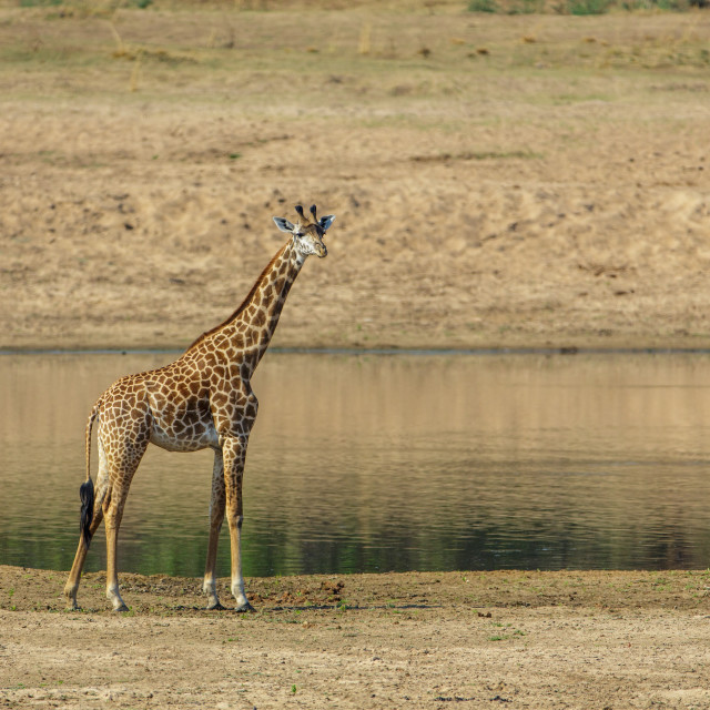 """Lone Giraffe standing by the river bank"" stock image"