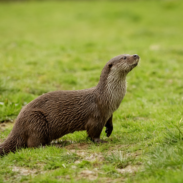 """Otter standing on grass and looking upwards"" stock image"