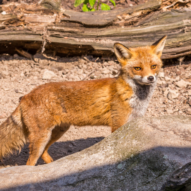 """""""Nice orange fox in the wood partly hidden by stone"""" stock image"""