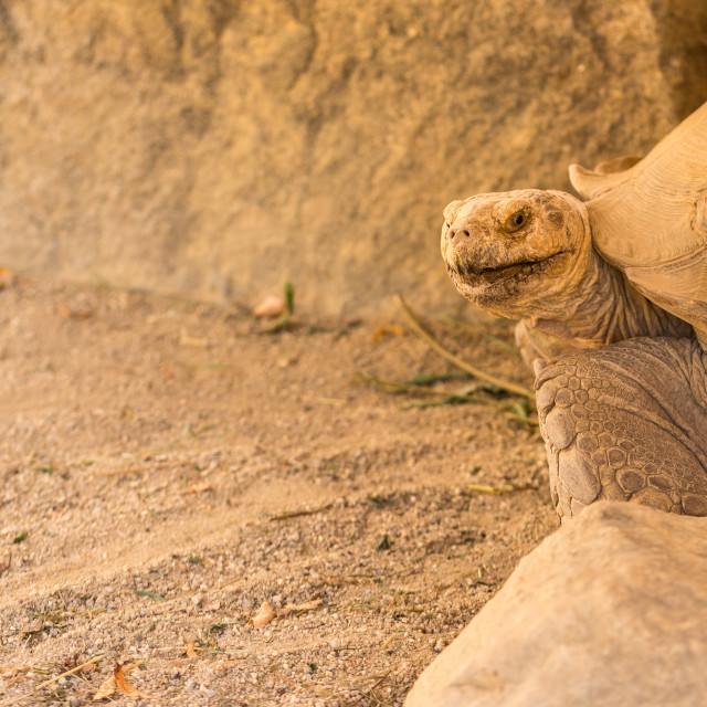 """""""Old big turtle between the stones on the sand"""" stock image"""