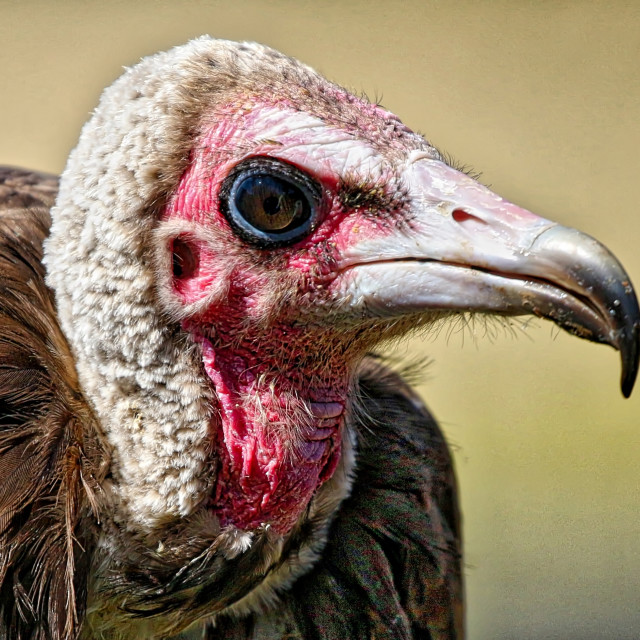 """""""Vulture"""" stock image"""