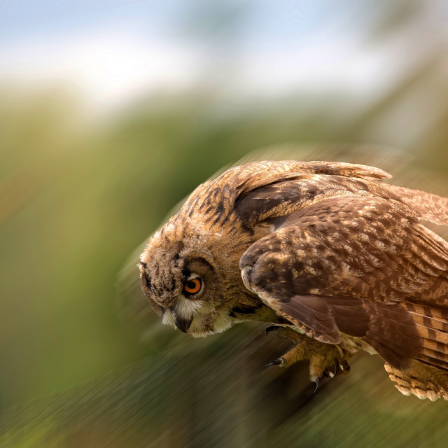 """Eagle-owl in the flight"" stock image"