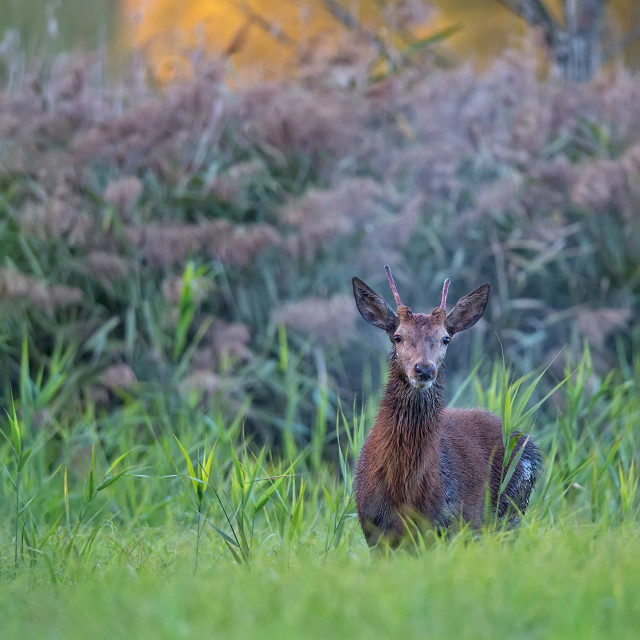 """Red deer in the wild"" stock image"