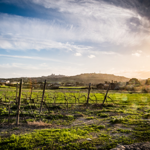 """Vine field at Sunset"" stock image"