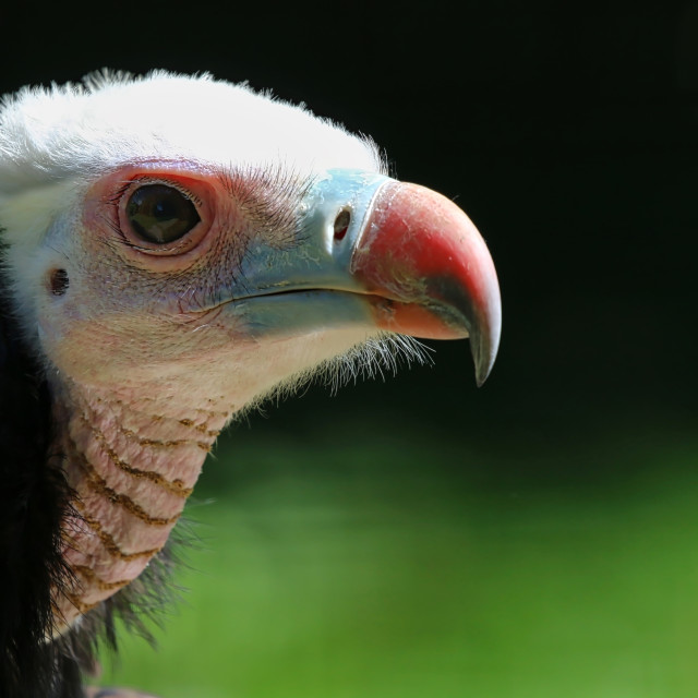 """""""Young Vulture"""" stock image"""