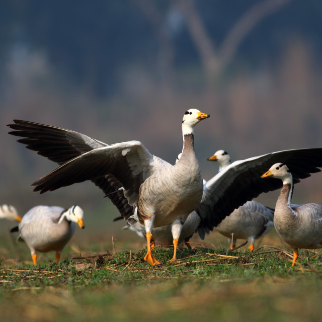 """fight of bar headed goose"" stock image"