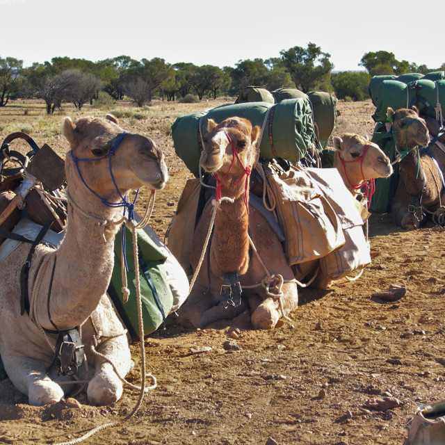 """Camel train at rest"" stock image"