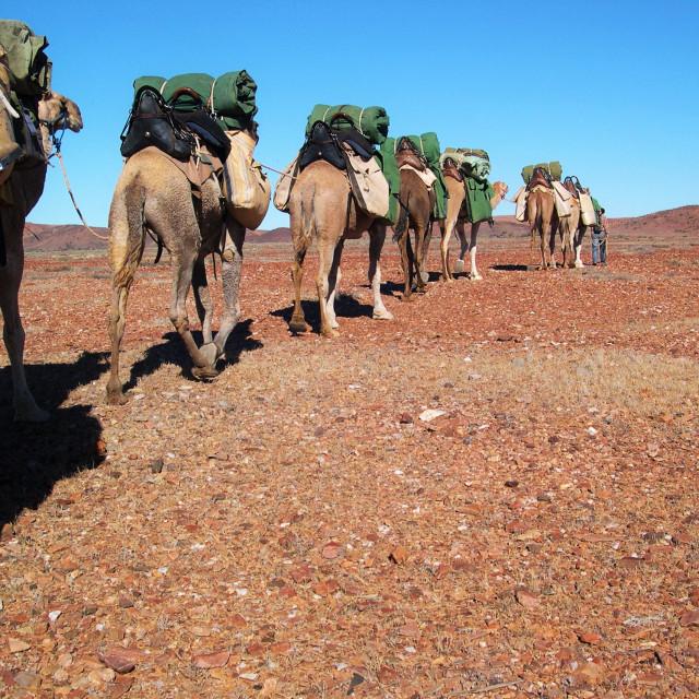 """Camel Safari"" stock image"