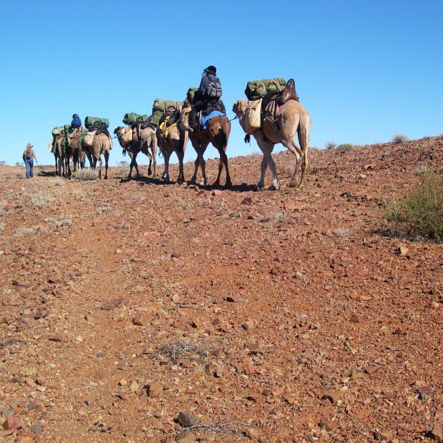 """Tirari Desert Camel Safari"" stock image"