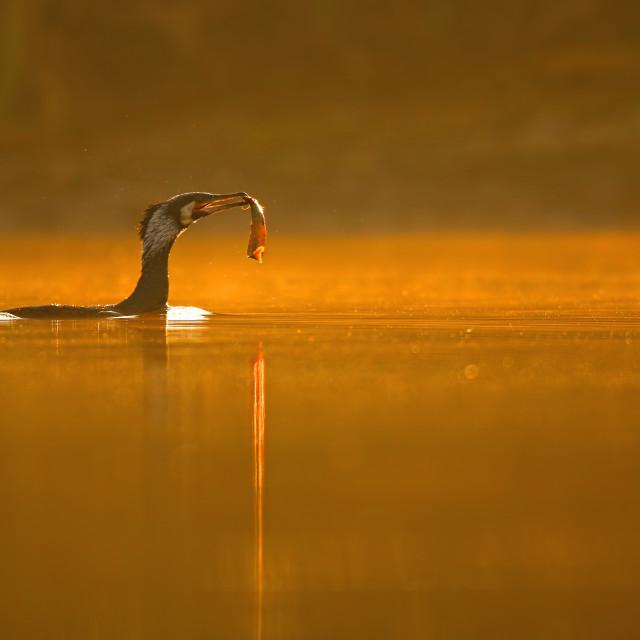 """Great Cormorant"" stock image"