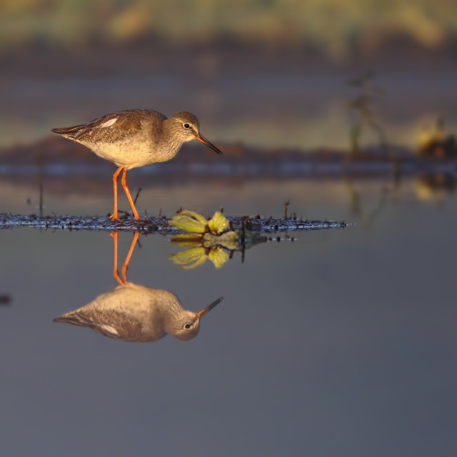 """""""Common Red shank"""" stock image"""