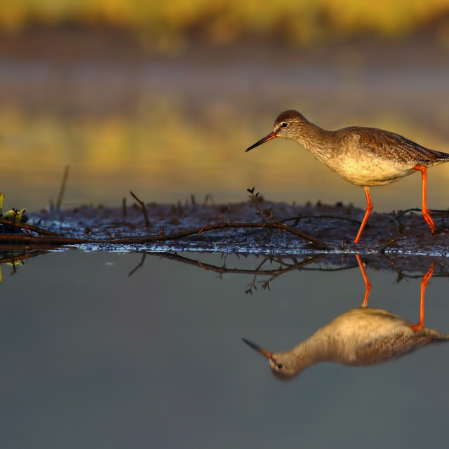 """Common Red Shank walking in the morning"" stock image"