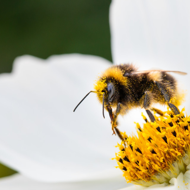 """Bee collecting pollen"" stock image"
