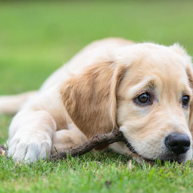 """Golden Retriever Puppy"" stock image"