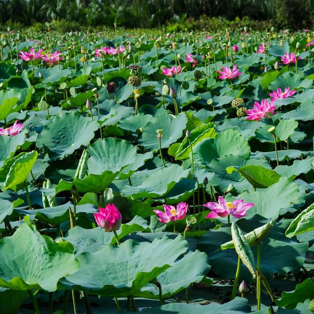 """Lotus flowers field"" stock image"