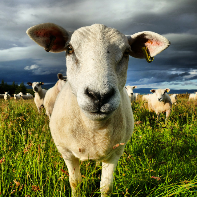 """Curious Sheep"" stock image"