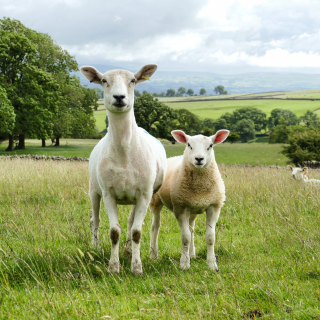 """Sheep and Lamb"" stock image"