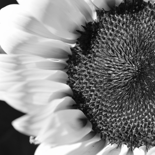 """Sunflower in Black and White"" stock image"