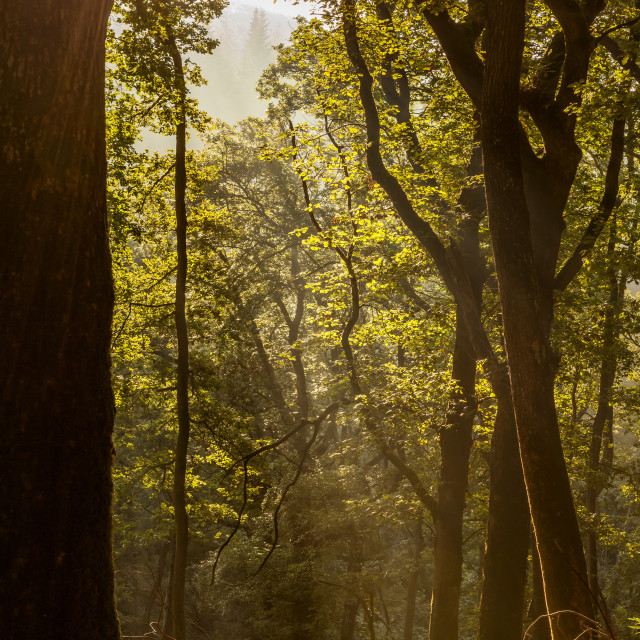 """""""Sun-rays and forest"""" stock image"""