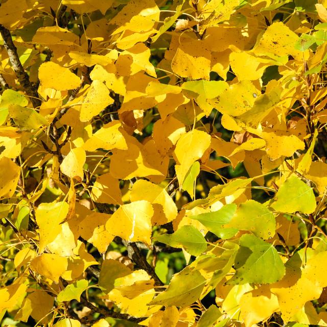 """Yellow poplar leaves"" stock image"