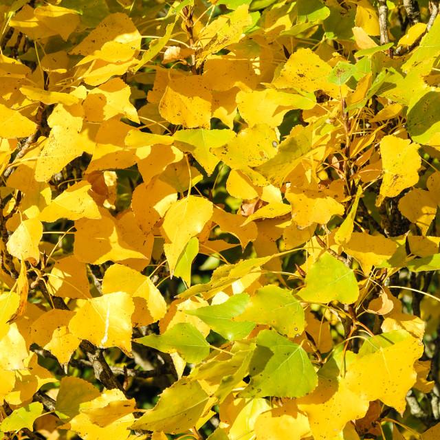 """Autumn poplar leaves"" stock image"