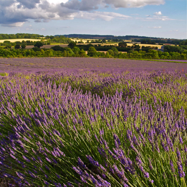"""Evening Lavender"" stock image"