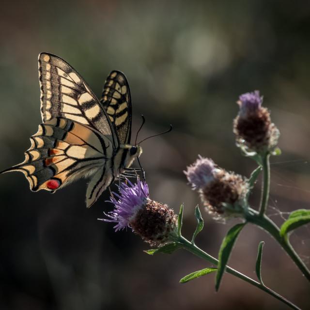 """Papilio machaon Linnaeus, 1758"" stock image"