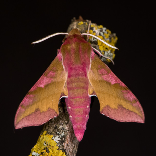 """Deilephila porcellus (Linnaeus, 1758)"" stock image"
