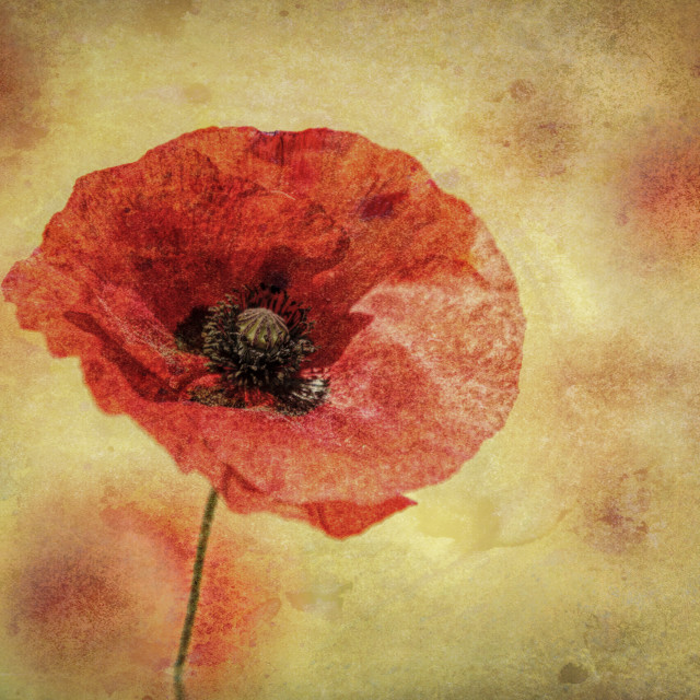 """Textured and faded poppy"" stock image"