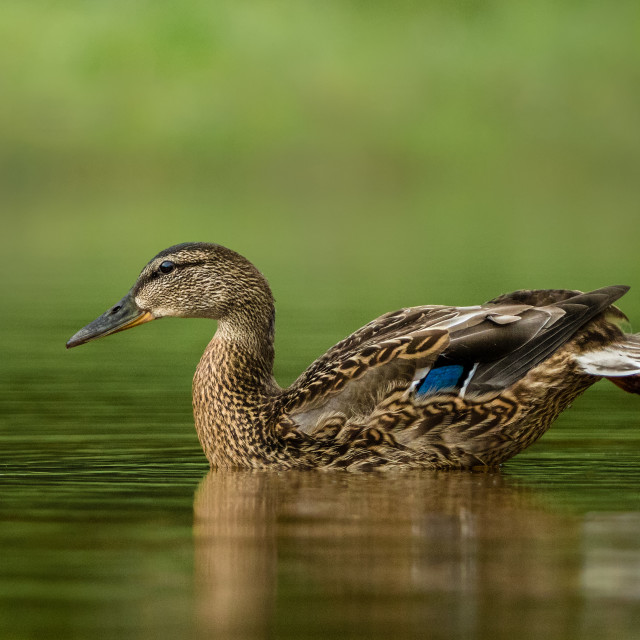 """Mallard stretching on the water surface"" stock image"