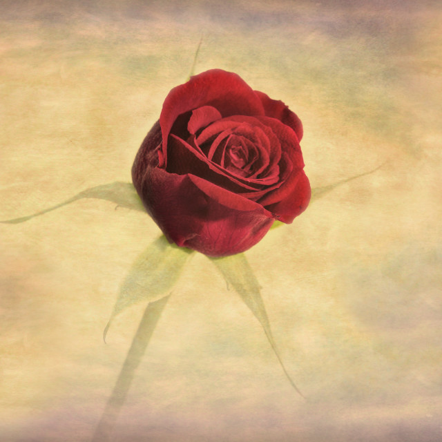 """Soft, textured, red rose flower"" stock image"