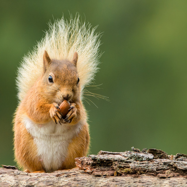 """Red Squirrel with blonde tail"" stock image"