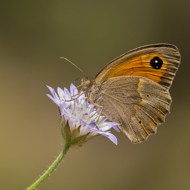 """Meadow Brown Butterfly on wild flower"" stock image"