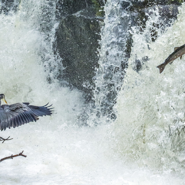 """Salmon Leap and Heron"" stock image"